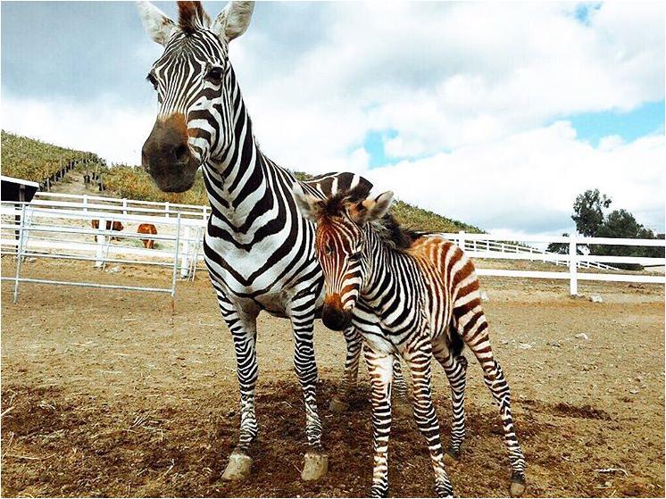 Malibu Wine Safaris - Zebras in background